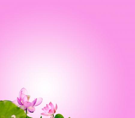 flores exoticas: Lotus con el fondo agradable para adv o el uso de otros efectos Foto de archivo