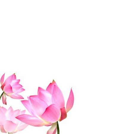 flor de loto: Lotus con buen fondo para su uso o para otros fines adv