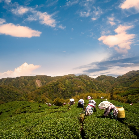 taiwan scenery: Ba Gua Tea garden in mid of Taiwan, This is the very famous area known for hand-picking of tea  Editorial