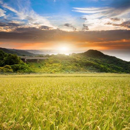 Rice field green grass blue sky Foto de archivo