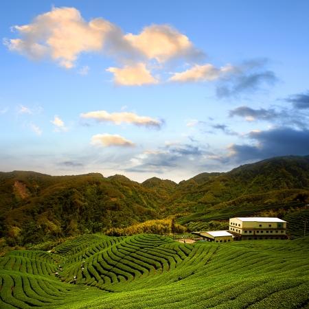 Green tea farm with blue sky background  Stock Photo