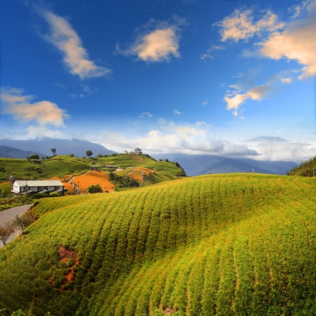 在台湾花莲节的六十石山的黄花菜花