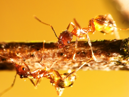 pismire: Nature Ant with nice background for adv or others purpose use