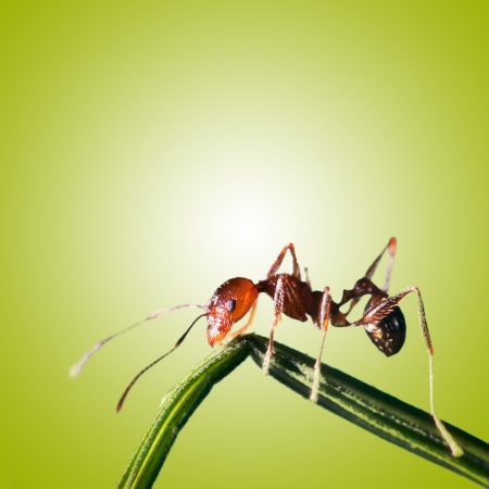 ant with isolated background for adv or others purpose use Stock Photo
