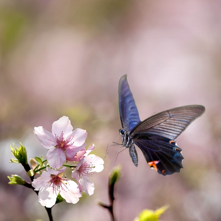 isolated Butterfly and tulip for adv or others purpose use photo