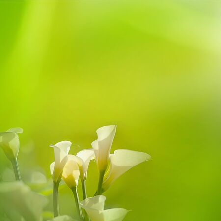White Calla Lilies with nice light green background photo