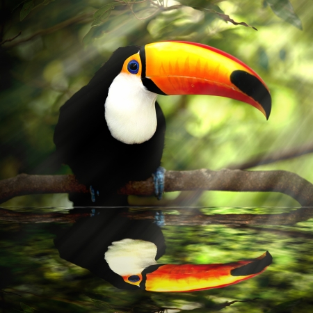 Toco Toucan in deep  Ramphastos toco  for background use  photo