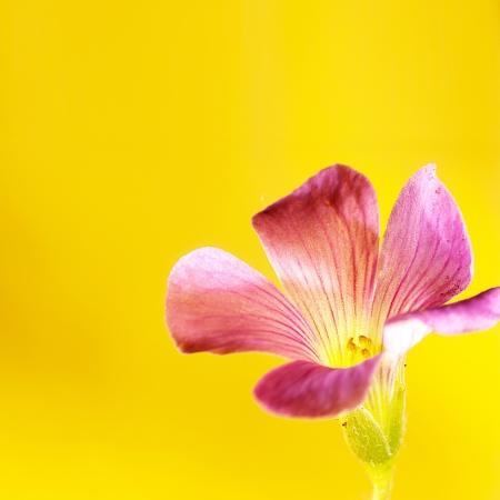 oxalis: Pink oxalis Oxalis corymbosa  in garden
