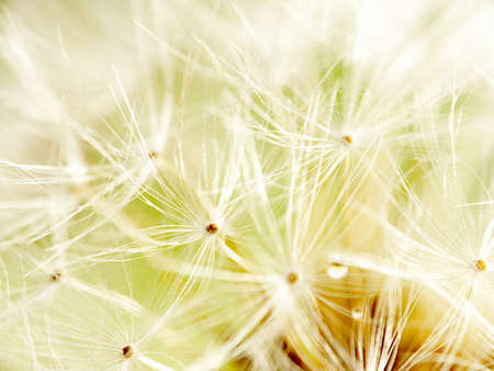 abstract dandelion flower background, extreme closeup with nice background color photo