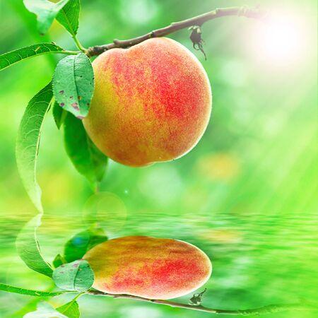 durazno: Peach creciente acercamiento para adv o el uso de otros efectos