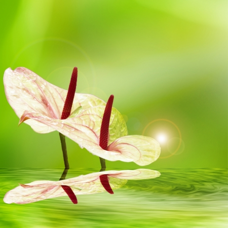 flamingo lily with nice background for adv or others purpose use photo