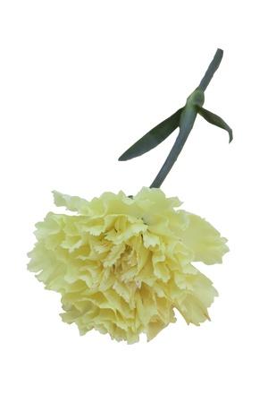 yeloow: Yeloow Carnation Dianthus caryophyllus flowers isolated with white background