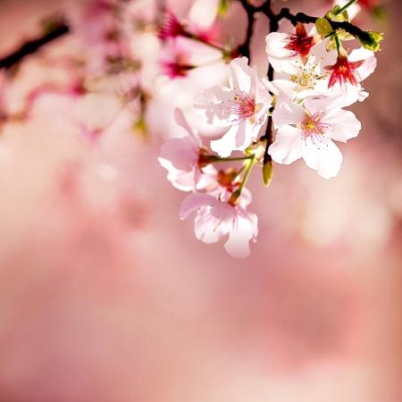 arbol de cerezo: Primavera flores de cerezo en flor