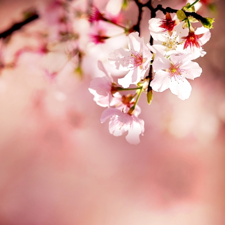 pink cherry: Spring Cherry blossoms in full bloom Stock Photo
