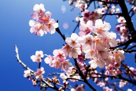 cerezos en flor: Flores de cerezo con color de fondo agradable para adv u otros uso del prop?sito