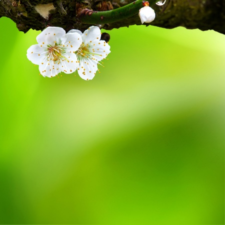 Spring background with plum flowers on black photo