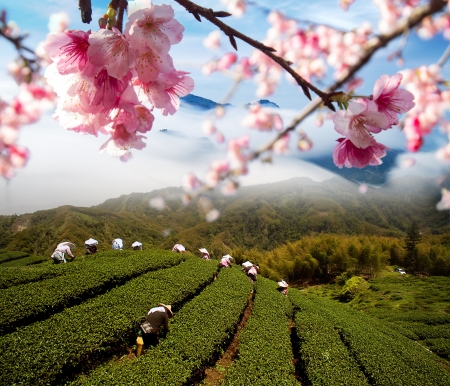 Sakura flowers among tea garden for adv or others purpose use photo