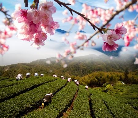 Sakura flowers among tea garden for adv or others purpose use