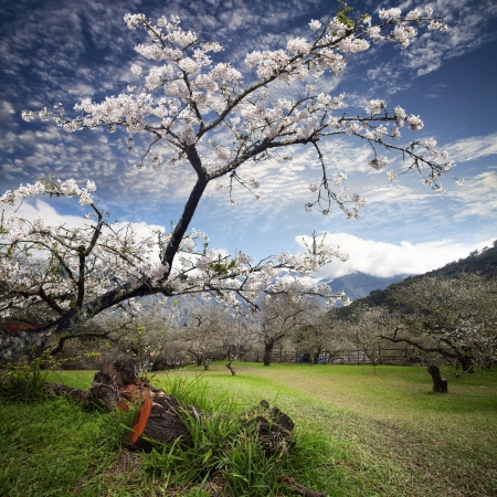 cherry blossoms with nice view for adv or others purpose use Stock Photo - 17501472