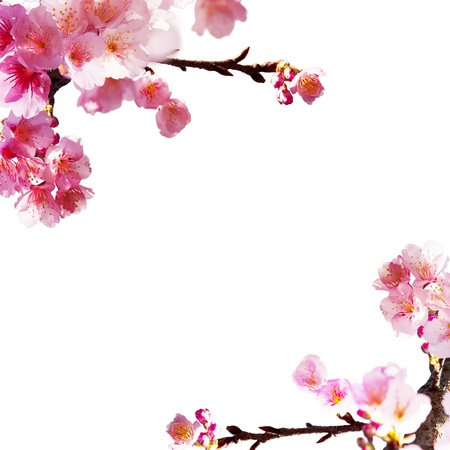 Sakura with nice background for adv or others purpose use