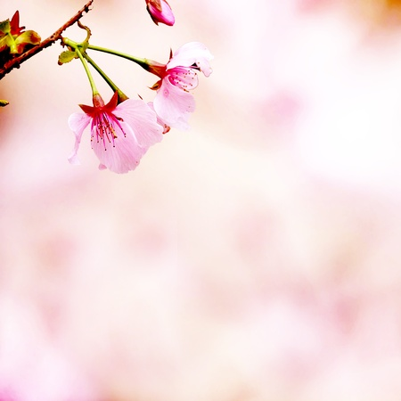 Branch with pink blossoms  Natural background - close up with shallow DOF  Stock Photo - 17501445