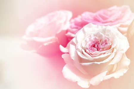 blossom roses Stock Photo - 17501470