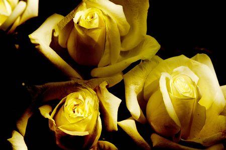 blossom roses  Stock Photo - 17501440