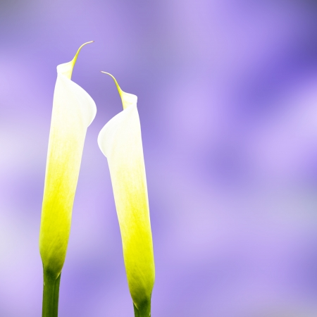 Calla lily with nice background color  Stock Photo - 17501441
