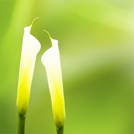 Calla lily with nice background color  Stock Photo - 17501455