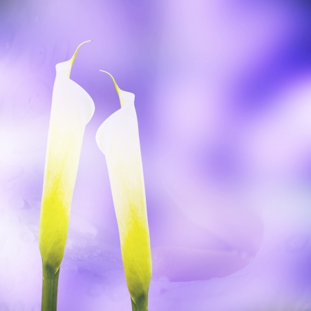 Calla lily with nice background color  Stock Photo - 17501450