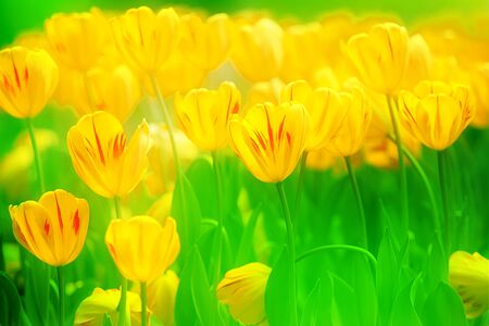colorful tulips Stock Photo - 17501452