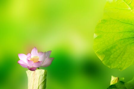 Beautiful Lotus with nice background color  Stock Photo - 17501444