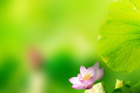 Beautiful Lotus with nice background color Stock Photo - 17501442