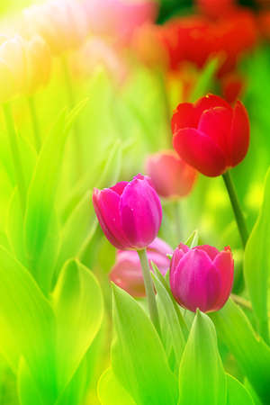 colorful tulips  Stock Photo - 17501454