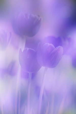 colorful tulips Stock Photo - 17501446