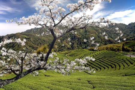 Nice landscape with sakura for adv or others purpose use Stock Photo - 17592260
