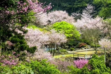 Nice sakura place for adv or others purpose use Stock Photo