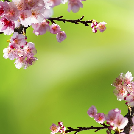 Nice sakura background for adv or others purpose use photo