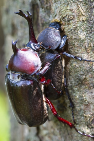 lovemaking: Beetle courtship for adv or others purpose use