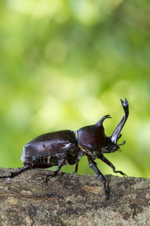 arthropoda: Beetle in Fraxinus suck sap for adv or others purpose use