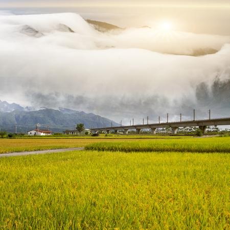 padi: Paddy field in the morning