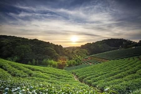 Tea garden Banque d'images