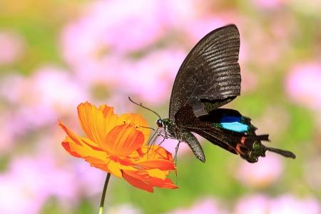 butterflies flying in cosmos flowers
