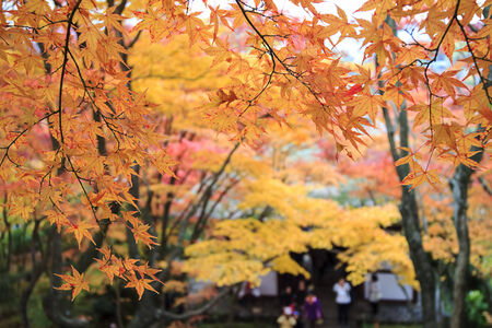 Autumn Japanese garden with maple photo