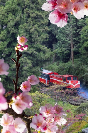 Forest train on railway with sakura in Alishan National Scenic Area, Taiwan, Asia