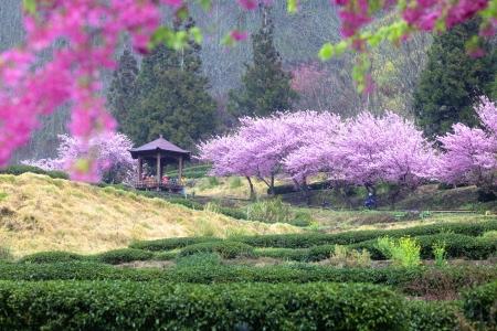 tea garden: Beautiful Sakura Garden in Wuling Farm Taiwan for adv or others purpose use