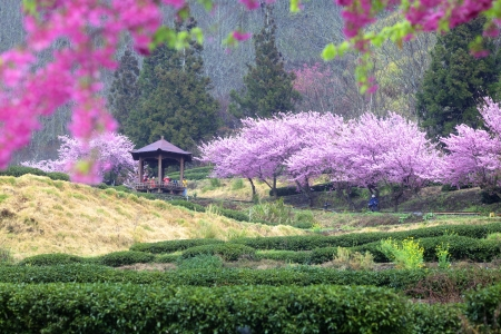 Beautiful Sakura Garden in Wuling Farm Taiwan for adv or others purpose use