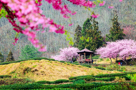 Sukura blossom in Taiwan for adv or others purpose use