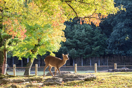 nara park: Deer in Nara, Japan, at fall Stock Photo