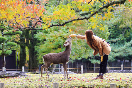 capita: Nara, Japan - November 21, 2013  Visitors feed wild deer on November 21, 2013 in Nara, Japan  Nara is a major tourism destination in Japan - former capita city and currently UNESCO World Heritage Site